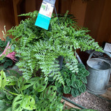 Hanging fern - mix