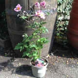 Anemone x hybrida 'Queen Charlotte' (2ltr)