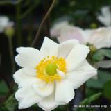 Anemone x hybrida 'Honorine Jobert' (2ltr)