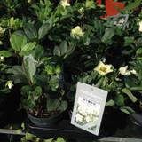 Helleborus niger 'Christmas Carol' (Hellebore) - 12cm