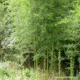 Phyllostachys aurea (100-120cm)