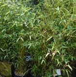 Phyllostachys aureosulcata 'Spectablis' (Yellow Groove Bamboo) 120/140cm