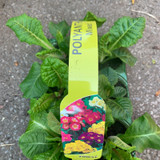 Polyanthus 6 pack - mixed colours