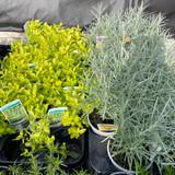 Herbs 10.5cm