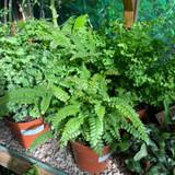 Maidenhair fern (Adiantum) mixed