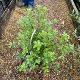 Pittosporum tenuifolium 'Lucky Irish' (3ltr)