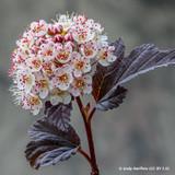 Physocarpus opulifolius 'Little Angel' (3ltr)