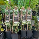 Trachelospermum jasminoides (Star Jasmine) sq