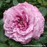 Lavender Ice - Floribunda