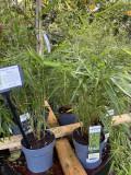 Fargesia robusta 'Pingwu' (Umbrella Bamboo)