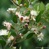 Myrtus communis 'Tarentina' (Myrtle) - 7.5ltr