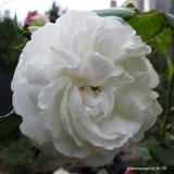 Boule de Neige - Shrub Rose