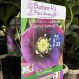 Helleborus orientalis 'Spring Sunset' 3ltr