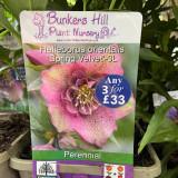 Helleborus orientalis 'Spring Velvet' 3ltr
