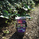 Helleborus x hybridus Frostkiss 'Penny's Pink' 3ltr