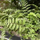 Athyrium niponicum pictum 1ltr pot