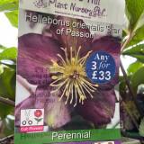 Helleborus orientalis  'Star of Passion' 3ltr pot