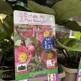 Helleborus x hybridus Frostkiss 'Pippa's Purple' 3ltr