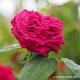 Eclair - Shrub Rose