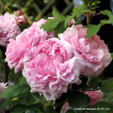 Jacques Cartier - Shrub Rose