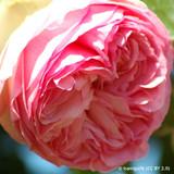 Raymond Blanc - Shrub Rose