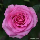 Mrs John Laing - Shrub Rose