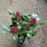 Skimmia jap. Rubella (4+ blooms) 9cm pot