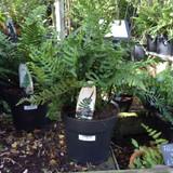 Polypodium vulgare (fern) - XL