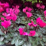 Cyclamen - Pink, Red or white (flowering)