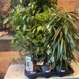 Ficus (houseplant)