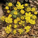 Eranthis cilicica (Winter Aconites)