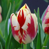 'Burning Heart' Tulip