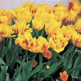 Tulip 'Monsella' BULK - 250 Bulbs
