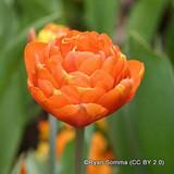 Tulip Orange Nassau