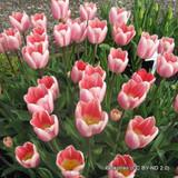 Tulip Pink Emperor