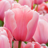Tulip Pink Diamond