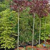 Mature and Specimen Plants
