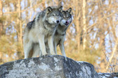 Two Timber Wolves Standing On Rocky Ledge Photograph