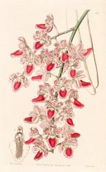 Aerides maculosa