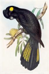 Calyptorynchus Funereus