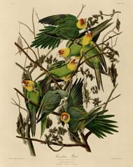 John Audubon Print - Carolina Parrot