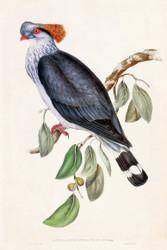 Lopholaimus Antarticus