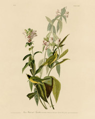 John Audubon Print - Green Black Capt Flycatcher