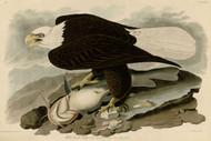 John Audubon Print - White Headed Eagle 2