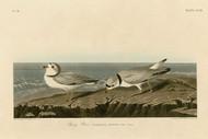 John Audubon Print - Piping Plover