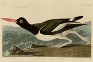 John Audubon Print - Pied Oyster Catcher
