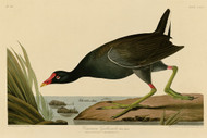 John Audubon Print - Common Gallinule