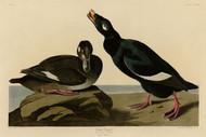 John Audubon Print - Velvet Duck