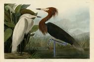 John Audubon Print - Purple Heron