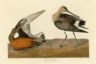 John Audubon Print - Hudsonian Godwit